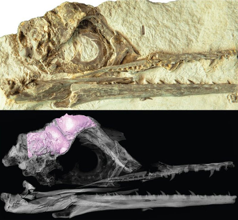 A photograph of the the new fossil of Ichthyornis (top) and a transparent 3D model (bottom) of the skull and brain (bottom, in pink) [Credit: Christopher Torres/The University of Texas at Austin]