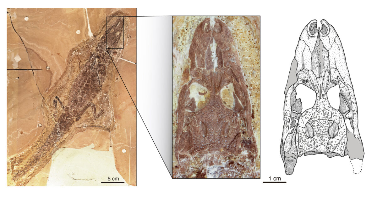 Skeleton and skull (enlargement) of one of the rare finds of Tsoabichi greenriverensis, an early caiman crocodile, from the approximately 52 million-year-old rocks of the Green River Formation in Wyoming, USA. © Image: Agnes Fatz, Tobias Massonne, Gustavo Darlim