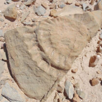 Fossilized remains of a Pterosaur in the Atacama desert