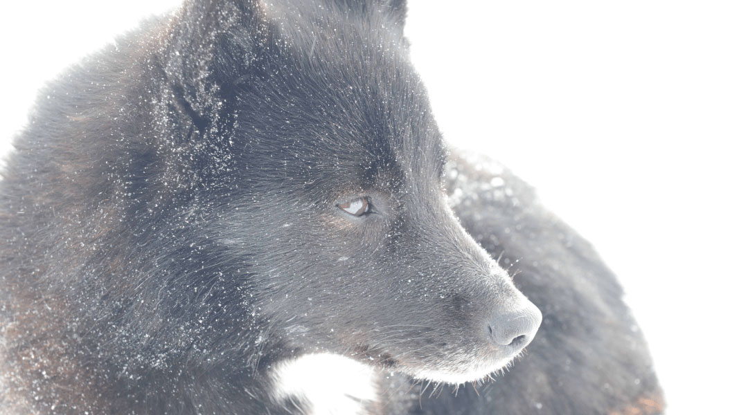 Dog living with reindeer herders in the Iamal-Nenets region of northwestern Siberia (by Robert Losey).