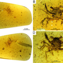 A tiny 100 million year old crab found in amber