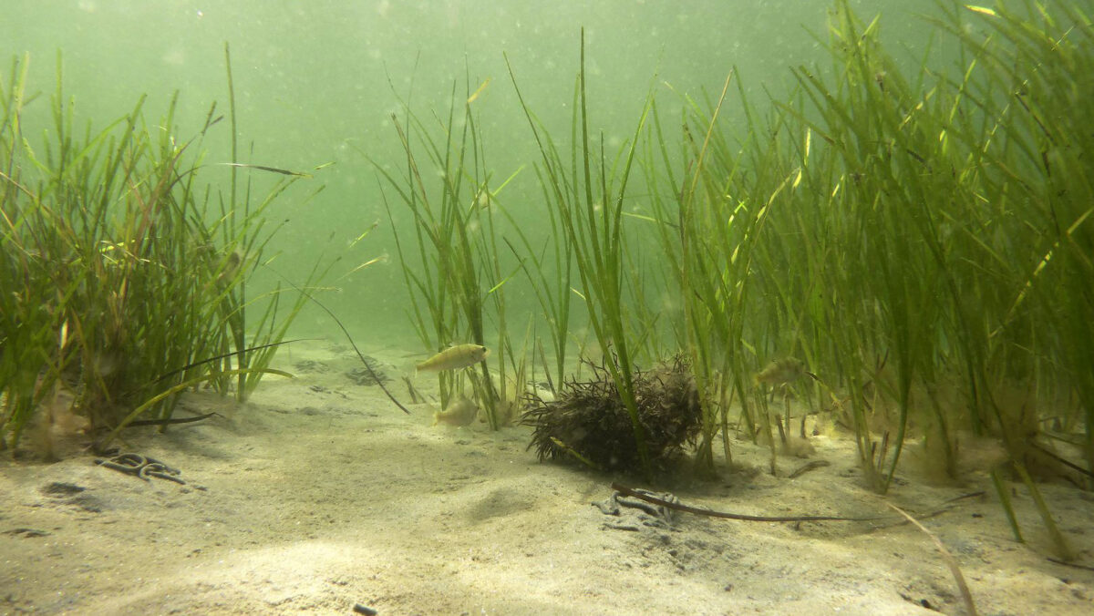 Many marine organisms, for example sea grasses in the Baltic sea, reproduce by forming clones. Their genetic information consists of a mosaic of original and newly acquired genes. © Dr Jan Dierking, GEOMAR
