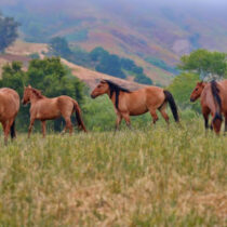 The Northern Caucasus focus of horse domestication for Eurasia proved